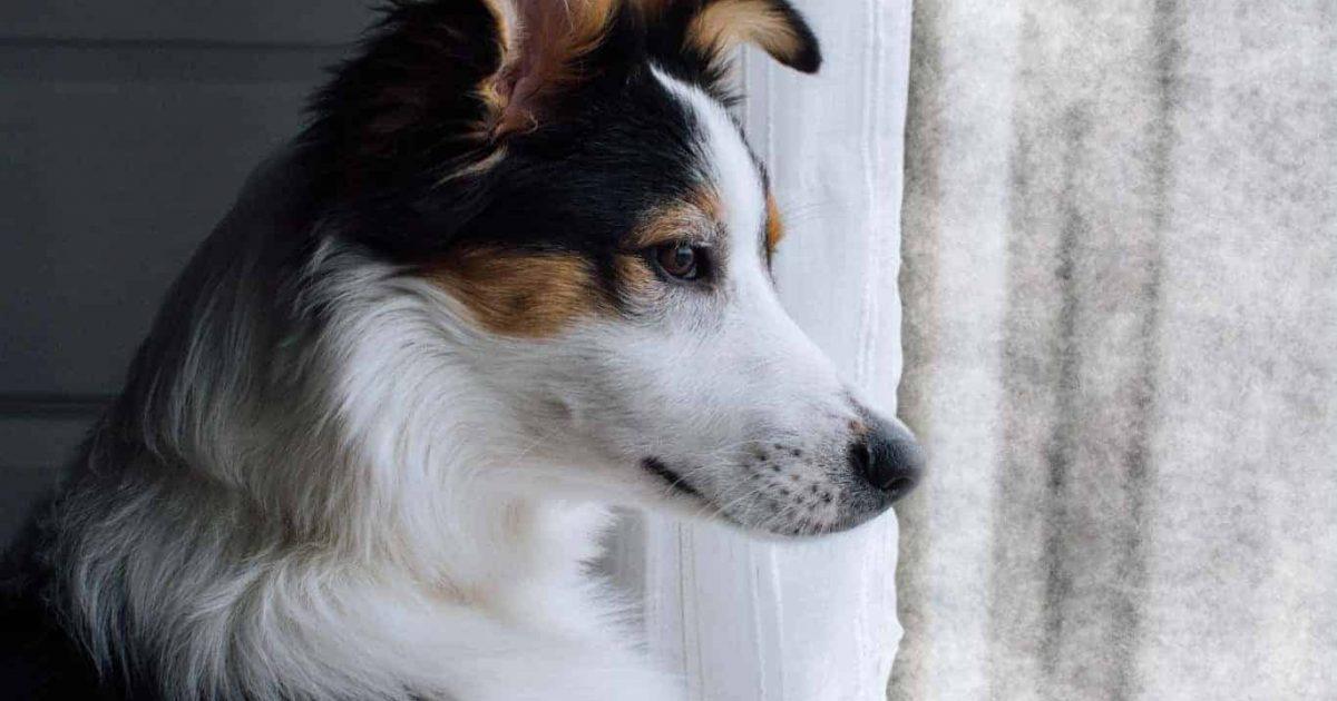 Chien qui regarde par la fenêtre